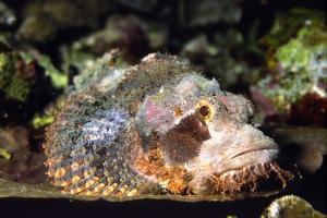 stone fish - ikan batu